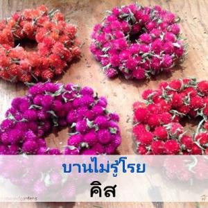 ไม้ตัดดอก บานไม่รู้โรย คิส (Qis Series) 0.99-1.2 บาท/เมล็ด
