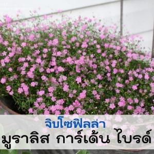 ไม้กระถาง จิบโซฟิลล่า มูราลิส การ์เด้น ไบรด์ (Muralis Garden Bride) 1.24-1.45 บาท/เมล็ด