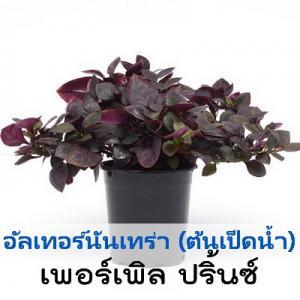 อัลเทอร์นันเทร่า เพอร์เพิล ปริ้นซ์ (Purple Prince) 4.99-5.3 บาท/เมล็ด