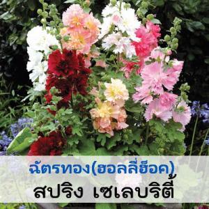 ฮอลลี่ฮ็อค สปริง เซเลบริตี้ (Spring Celebrities Series) 5.24-14 บาท/เมล็ด