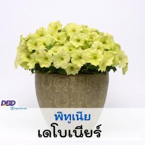 พิทูเนีย เดโบเนียร์ (Debonair Series) 3.49-10.00 บาท/เมล็ด