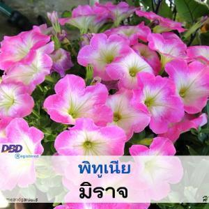 พิทูเนีย มิราจ (Mirage Series) 0.79-1.05 บาท/เมล็ด