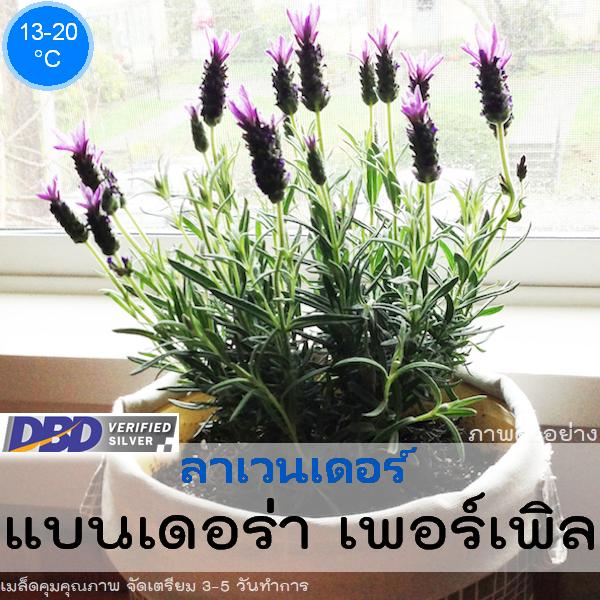 ลาเวนเดอร์ แบนเดอร่า เพอร์เพิล (Bandera Purple) 2.69-2.90 บาท/เมล็ด