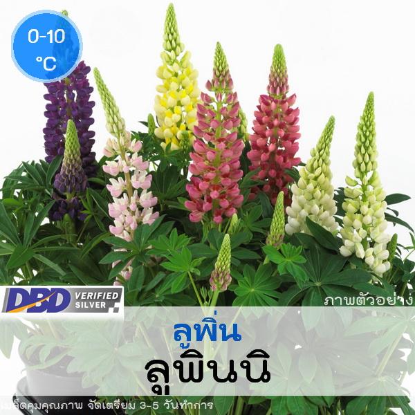 ลูพิ่น ลูพินนิ (Lupini Series)1.39-1.6 บาท/เมล็ด