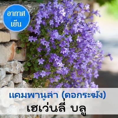 แคมพานูล่า เฮเว่นลี่ บลู (Heavenly Blue) 2.89 - 3.4 บาท/เมล็ด