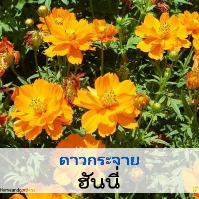 ไม้กระถาง ดาวกระจาย ฮันนี่ (Honey Series) 1.04-1.55 บาท/เมล็ด