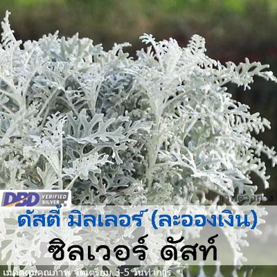 ดัสตี้ มิลเลอร์ ซิลเวอร์ดัสท์ (Silver dust) 0.26-0.29 บาท/เมล็ด