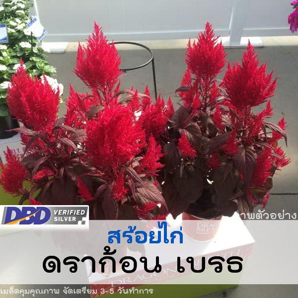 สร้อยไก่ ดราก้อน เบรธ ( Dragon's Breath) 4.99-5.20 บาท/เมล็ด