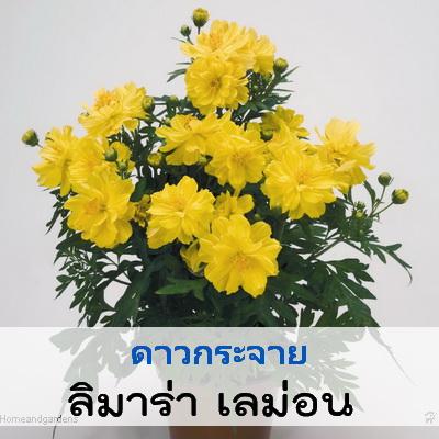 ดาวกระจาย ลิเมร่าเลม่อน (Limara Lemon) 0.98 - 1.5 บาท/เมล็ด