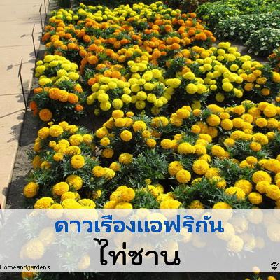 ดาวเรือง ไท่ชาน (Taishan Series) 1.79-2.3บาท/เมล็ด