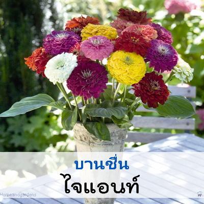 ไม้ตัดดอก บานชื่น ไจแอนท์ (Giant Series) 1.69-1.9 บาท/เมล็ด