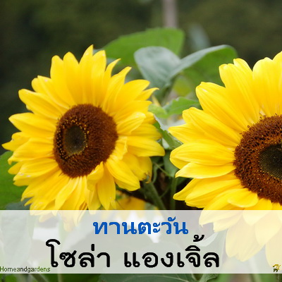 ทานตะวัน โซล่า แองเจิ้ล (Solar Angel) 4.54 - 8.8 บาท/เมล็ด