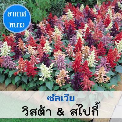 ซัลเวีย สายพันธุ์ วิสต้า & สไปกี้ (Vista&Spiky Series) 0.99 - 1.5 บาท/เมล็ด