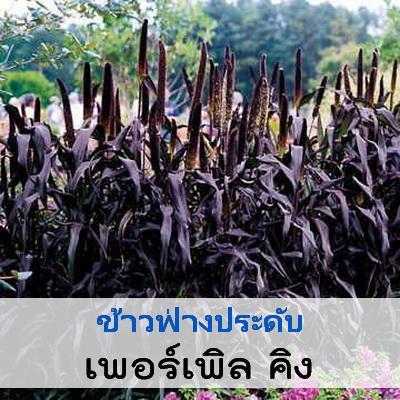 ไม้ประดับแปลง ข้าวฟ่ำงประดับ เพอร์เพิล คิง (Purple King) 9.9 - 10.5 บาท/เมล็ด