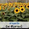 ทานตะวัน มิส ซันชายน์ (Miss Sunshine) 2.89-5.52 บาท/เมล็ด