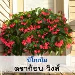 วิธีการเพาะ การดูแล บีโกเนีย ( Begonia) ชนิด รากฝอย