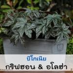 วิธีการเพาะ การดูแล บีโกเนีย ( Begonia ) ชนิด ใบระดับ