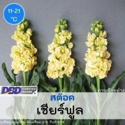 ไม้ตัดดอก สต็อค เชียร์ฟูล (Mid Cheerful Series) 1.39 - 1.60 บาท/เมล็ด