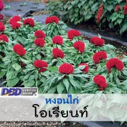 หงอนไก่ โอเรียนท์ (Orient Series) 0.77-0.99 บาท/เมล็ด