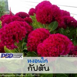 ไม้ตัดดอก หงอนไก่ กัปตัน (Captain Series) 1.09 - 1.30 บาท/เมล็ด