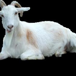 หัวน้ำหอม กลิ่น Goat Milk นมแพะ
