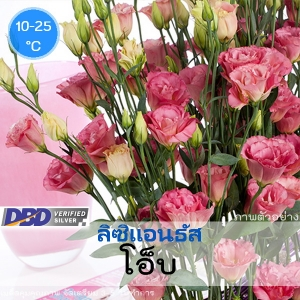 ไม้ตัดดอก ลิซิแอนธัส โอ็บ(Aube Series) 2.39-2.60 บาท/เมล็ด