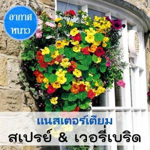 แนสเตอร์เตียม สเปรย์&เวอรี่เบริด (Spray & Whirlybird Series) 1.29-3.60 บาท/เมล็ด