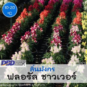 ไม้กระถาง ลิ้นมังกร ฟลอรัล ชาวเวอร์ (Floral shower Series) 1.04-1.25 บาท/เมล็ด