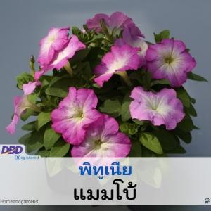พิทูเนีย แมมโบ้ (Mambo Series) 1.09-1.38 บาท/เมล็ด