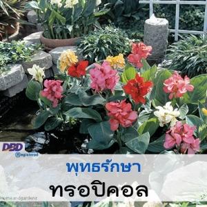 พุทธรักษา ทรอปิคอล (Tropical Series) 8.49-8.70 บาท/เมล็ด