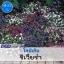 ไม้ประดับแปลง โลบิเลีย ริเวียร่า (Riviera Series) 1.24-1.45 บาท/เมล็ด