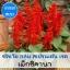 ซัลเวีย กลุ่ม สเปรนเด้น เรด สายพันธุ์ เม็กซิคานา (Splenden Red - Mexicana) 1.09-2.4 บาท/เมล็ด