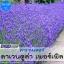 ลาเวนเดอร์ ลาเวนดูล่า เพอร์เพิล (Lavendula Purple) 1.39-1.60 บาท/เมล็ด
