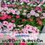 ไม้กระถาง แพงพวย แปซิฟิกา & ทรอปิค (Pacifica & Tropic Series) 0.91-1.12 บาท/เมล็ด